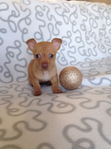 Holiday Special! Chihuahua Puppies! Sale Price Downtown-West End Greater Vancouver Area image 3