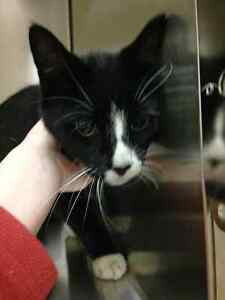 Black and White cat - found