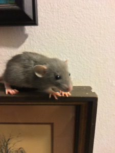 4 week old Baby Dumbo Rats ***DISCOUNT! 2 / $20.00