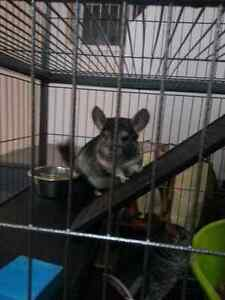 2 chinchillas et cage