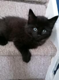 Male Ragdoll Cross Kitten
