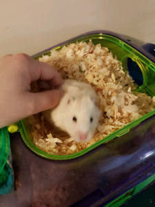 White Teddybear Hamster with whole set up