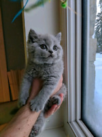 Amaizing High Quality British shorthair! Registered in CCA! City of Montréal Greater Montréal Preview