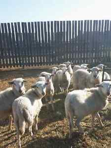 Wether/Meat Lambs