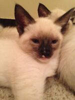 Chocolate Point Siamese Kittens For Sale