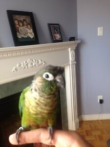 Super Tamed and Friendly Green Cheek Conure for sale