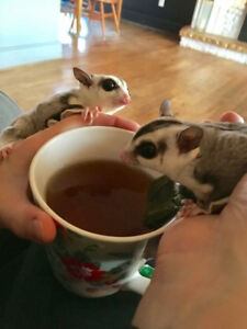 Two male sugar gliders including cage. Social  and friendly.