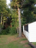 4 pine trees for sale