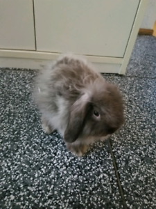 Lapin beautiful rabit 3 months old is coming with travel cage