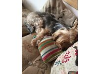 5 year old male yorkie cross