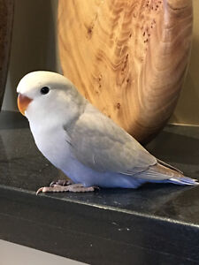 Beautiful Hand Fed Baby Lovebirds -- SOLD