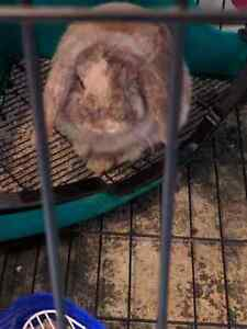 Two beautiful 8 month old holland lop bucks FREE