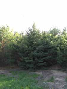 Spruce trees 20ft