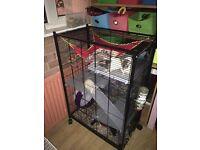 4 Pet Rats
