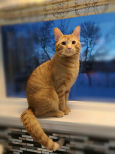 Orange male Tabby to surrender to a forever home - Neutered