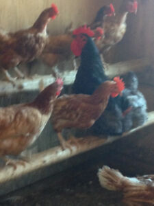 Chickens for sale (layer hens)