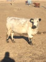 Bred Speckle Park cow