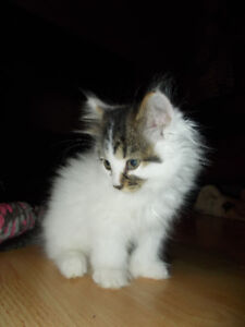 Chatons mitaines