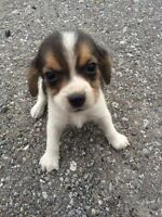 Purebred beagle puppies for sale Male & Female