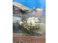 3 Terrapins and tank and heater turtles fish tank