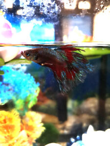 Halfmoon Betta fish for sale