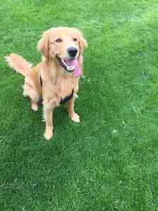 9months old My lovely Golden Retriever baby