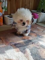 Shih Tzu D'amour Special 480.00