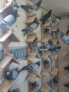 Racing Pigeons | Kijiji in Ontario  - Buy, Sell & Save with Canada's