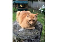 MISSING GINGER CAT - CR2 Sanderstead