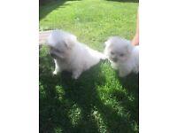 Beautiful KC Maltese puppies
