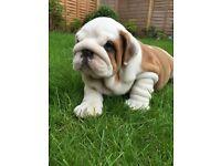 English/British Bulldog Male Puppies