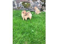"""Pomeranian puppy's """"1 male left"""""""