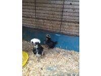 2 polish chickens