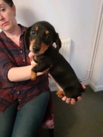 3 month old dachshund puppy