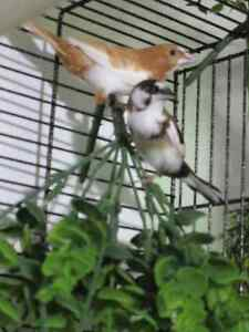 Society finches and cage