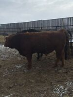 2 yr old Purebred Simmental Bull