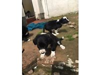 Collie x spaniel pups for sale