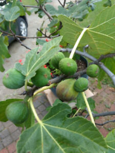 Fig Trees - Xtra Large