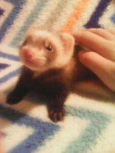 Baby ferrets ready soon, privately bred!