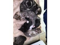 Kittens ready in 2 weeks