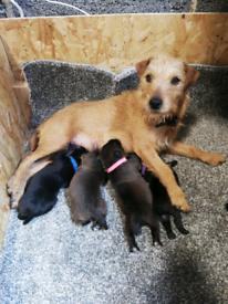 Patterdale terrier puppies