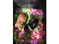 Cute guinea piglets