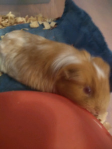 Sweet guinea pig to a good home