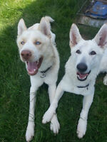 RARE White German Shepherd/Husky Pups Ready for Christmas