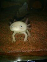 Axolotls for sale