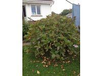 Hydrangea bushes - Larne area