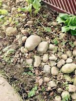 Free landscaping rocks! Kitchener near Bruce & Victoria streets