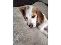 Beagle puppy for sale £350.00 Now sold