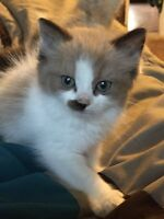 Female Ragdoll kittens