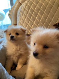 Miniature pomeranian puppies